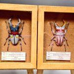 アムロオオクワガタ&バナージオオクワガタの標本